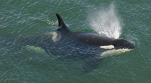 J16 SRKW Photo by: Miles Ritter
