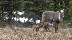 Have your say on endangered caribou